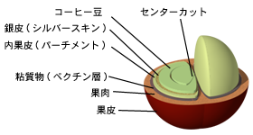 豆の断面図